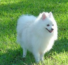 111 Best Most Beautiful Breed Images Cubs Dogs Pomeranians