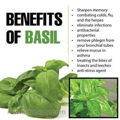 Amazing Benefits Of Tulsi/Basil: Basil is very beneficial in combating cardiac disease and the weakness resulting from it.