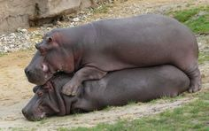 Friendly hippos are so cute! :P
