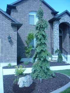 Weeping white spruce Height: 20 to 30 feet Width: 6 feet Light: Full sun to partial shade Water: Moderate to dry Soil Tolerance: Loam or sandy soils Growth Habit: Narrow and upright with pendulous branches How to Use: Specimen garden focal point Evergreen Trees Landscaping, Evergreen Landscape, Small Backyard Landscaping, Landscaping Plants, Weeping Evergreen Trees, Evergreen Trees For Privacy, Small Pine Trees, Landscaping Borders, Gardens