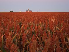 China's grand entrance into the U.S. sorghum market began in September of 2013, and roughly coincided with the import ban of a type genetically modified corn, MR162. Since that point, U.S. sorghum exports to China have been on a long and impressive 79-week run and have totaled more than 340 million bushels, averaging 4.4 million …