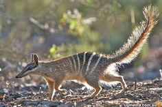 Numbat: proof Scrat lives