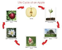 The Helpful Garden: Life Cycle of an Apple Nomenclature and Control Chart