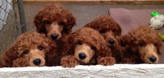 Spoodiful! #poodle #puppies