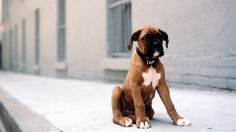Boxer puppies are the cutest! No room here but he is so cute I can't wait to get a boxer