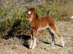 Foals aren't often born in winter, but when they are they come with thick coats. This filly was born in late December 2012 and her dam is very protective. (Photo by Cape Lookout National Seashore)