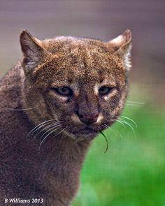 Snapshot: Jaguarundi - International Society for Endangered Cats ...
