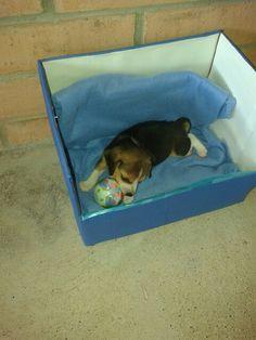 Beagle Breeds, Dog Beds, Beagles, Sheltie, Pens, Puppies, Baby, Doggies, Beagle