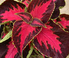 The colors in coleus 'Chocolate Covered Cherry' are mouth watering. A center the color of cherry candy is surrounded by a chocolatey brown. A thin border of  minty green traces around the edges. It's just one of the 50 or 60 varieties of coleus you'll see during the Celebration of Coleus  Color exhibit from June 14 through July 27 at the Buffalo  Erie County Botanical Gardens, 2655 South Park Ave., Buffalo. Hours are  10 a.m. to 5 p.m. daily. Coleus is a great plant for shade.