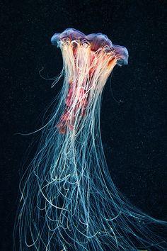 Amazing Jellyfish: The Amazing Jellyfish Of The White Sea