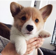 You Should Never Adopt A Corgi - Here Are 20 Definitive Reasons Why - cats&dogs&turtles - Puppies Welsh Corgi Puppies, Cute Corgi Puppy, Pembroke Welsh Corgi, Cute Puppies, Cute Dogs, Dogs And Puppies, Teacup Puppies, Shepherd Puppies, Funny Dogs