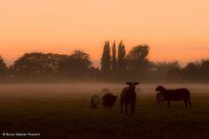Misty evening landscape   Landscape with sheeps in the upcom…   Flickr