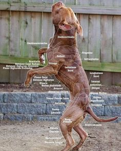 Chart No. 2 by MNArtPhotography on DeviantArt(Vet Tech Student) Veterinarian School, Veterinarian Technician, Veterinary Studies, Veterinary Medicine, Vet Tech Student, Dog Anatomy, Vet Med, Vet Clinics, Animal Science