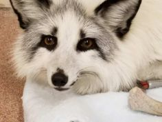 """I'm a licensed wildlife rehabilitator. Yesterday the police called me with an """"albino raccoon"""". It turned out to be neither."""