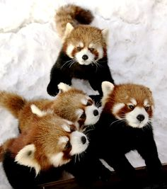 Endangered.  Two baby Chinese red pandas and their parents huddle together at the Red River Zoo in Fargo, N.D.