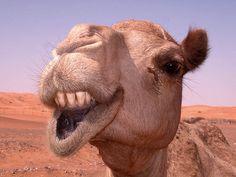 Ugly Camel by Gavspics, via Flickr