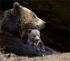 bear mom is known for their protectiveness. She takes great care in protecting and training her young cubs.. Cute Baby Animals, Animals And Pets, Funny Animals, We Bear, Bear Cubs, Black Bear, Brown Bear, Mother Bears, Momma Bear