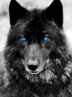 I had a dream of a dog that turned into a majestic Black Wolf. I wondered, Dog or Wolf? Why was I afraid of the wolf? And then I was embracing Wolf with deep respect. Wolf Spirit, My Spirit Animal, My Animal, Wolf Love, Beautiful Creatures, Animals Beautiful, Cute Animals, Wild Animals, Baby Animals