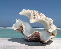 Giant Clam Shell -