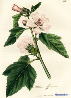 """Marshmallow. From Ed Smith's personal library: Stephenson & Churchill, """"Medical Botany"""": 1834-1836."""