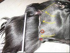 Giant Schnauzer grooming guide - Clip the side of the head