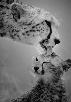 animal, cheeta, cute, lion, love Animals Kissing, The Animals, Cute Baby Animals, Funny Animals, Wild Animals, Funny Cats, Animals Images, Jungle Animals, Beautiful Cats