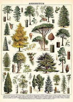 Vintage tree images adorn the new Cavallini Arboretum 1000 piece puzzle. Each image is identified by its scientific name at the bottom of the puzzle. Art Vintage, Vintage Botanical Prints, Botanical Drawings, Botanical Art, Vintage Posters, Floral Posters, Vintage Prints, Vintage Style, Vintage Inspired