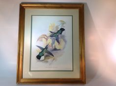 Vintage Bird Print of Blue Throated Sabre Wing Nice Large Frame By Hullmandel W.