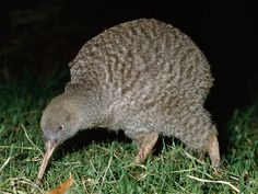 Great Spotted Kiwi-Endangered animals list-Our endangered animals | KONICA MINOLTA