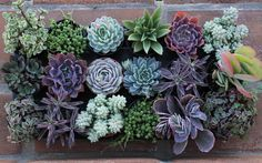 Succulent Plants A Variety Of 18 Medium Size by SucculentOasis