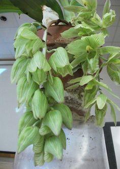Clowesia russeliana (Native to Mexico)