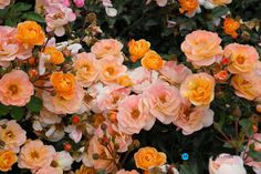 Gardening:Flower Carpet Rose Amber Rose Garden Tips And Ideas Gardening Landscape Plans Garden Seating Planting Plan Climbing Rose Flower Yard Decor Small Backyard Landscaping Layout Design Ideas Rose Garden Tips and Plans Ideas : How to Grow a Rose Garden in Pots and Other Flower Container
