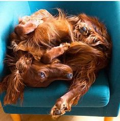 Irish Setter curled up into a ball of fluff 💕😘 Beautiful Dog Breeds, Most Beautiful Dogs, I Love Dogs, Cute Dogs, Red And White Setter, Sweet Dogs, Irish Setter Dogs, Red Dog, Dogs And Puppies