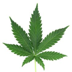 Photo about Cannabis isolated on white from amsterdam. Image of marijuana, abuse, marihuana - 5043205 Marijuana Leaves, Cannabis Plant, Cannabis Oil, Pilates Video, Transparent Flowers, Indica Strains, Pink Leaves, Medical Marijuana, Plants