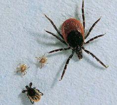 Zecken: Wie gefährlich sind sie und wie können wir uns schützen? - [GEO] Taupe, Insects, Animals, Crabs, Search, Ticks, Spider, Beige, Animales