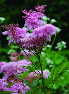 Queen of the Prairie is an impressive plant that grows up to 8 feet tall and is best suited for a large garden. Via The Midwestern Native Garden | Chicago Tonight | WTTW