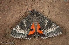 Catocala grotiana, Arizona