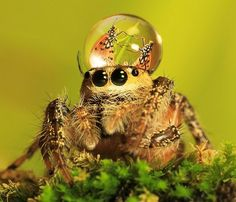 Fashionable Jumping Spiders. WTF-is that spider wearing something on its head, or does it have a drop of dew that is reflecting butterflies?