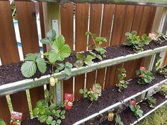 Vertical Garden Bauen Dachrinne Erdbeeren Bild C Heldenderfreizeit Com In 2020 Erdbeeren Garten Pflanzen Pflanzideen