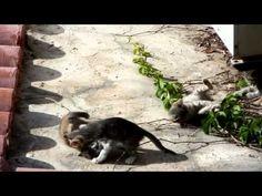 Funny kittens wrestling