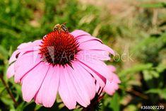 Close-up of bee on pink flower – kaufen Sie dieses Foto und finden Sie ähnliche Bilder auf Adobe Stock | Adobe Stock Pink Flowers, Close Up, Bee, Plants, Photography, Image, Pictures, Honey Bees, Photograph