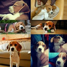 First year with us  #beagle #dogs #cats #necklaces #keychains #anklets #jewelry