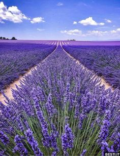 The post Forget strawberries Purple fields forever! appeared first on Easy flowers. Lavender Fields, Lavender Flowers, Flowers Nature, Love Flowers, Purple Flowers, Beautiful Flowers, Lavander, Keukenhof Holanda, Lavender Aesthetic