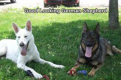 Good Looking German Shepherd    http://www.germanshepherdfacts.us