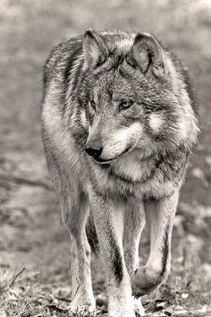 wolf: