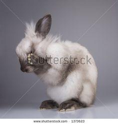 stock photo : Siamese rabbit Big Ear take a wash