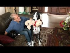 Proud Great Dane Shows Off Her Toy to Dad and the Cat - YouTube