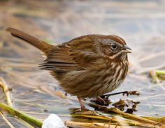 Song Sparrow - adult Pacific Northwest form