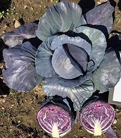 David's Garden Seeds Cabbage Roadie OP13-76 (Red) 100 Hybrid Seeds Cabbage Seeds, David, Garden Seeds, Irises, Winter Garden, Green And Purple, June, Gardening, Cold
