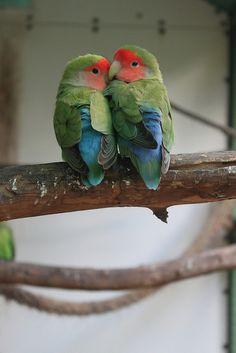 Peach Faced Lovebirds Exotic Birds in South Florida | Flickr - Photo Sharing!